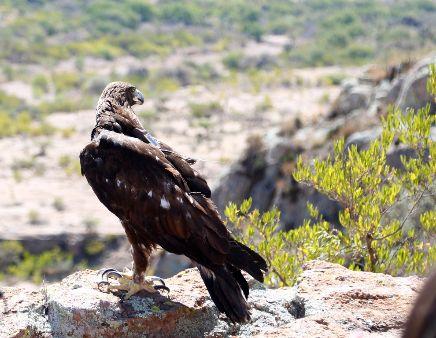 Regresan  a su Hábitat a un Águila Real