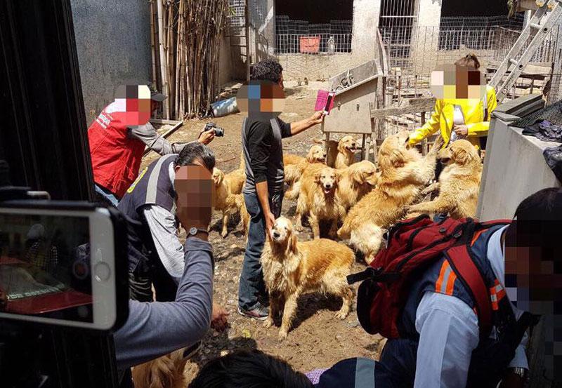 Rescatan a 33 Golden Retriever en Iztapalapa
